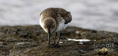 Photograph - Dunlin On The Mudflat by Sue Harper
