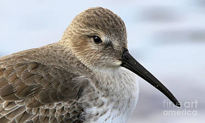 Photograph - Dunlin Sandpiper Beauty by Sue Harper