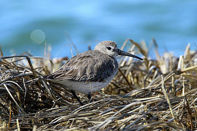 Photograph - Dunlin Shirley New York by Bob Savage
