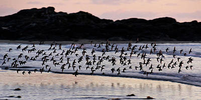 Photograph - Dunlins In Flight by Inge Riis McDonald