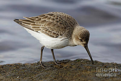 Photograph - Dunlins Stance by Sue Harper