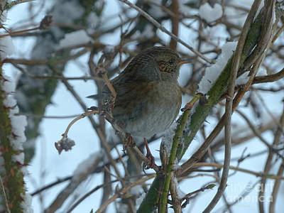 Photograph - Dunnock In Hedge by Phil Banks