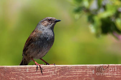 Photograph - Dunnock by Terri Waters