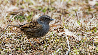 Photograph - Dunnock by Torbjorn Swenelius