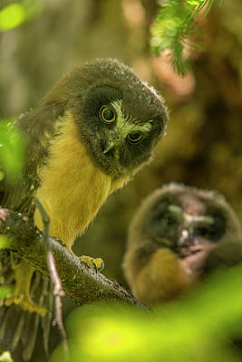 Northern Saw-whet Owl Photograph - Duo Of Saw Whets by Tim Grams