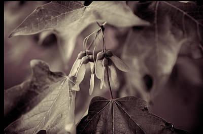 Photograph - Duotone Maple by Steve Gravano