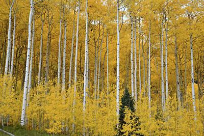 Photograph - Durango Aspen Grove by Ray Mathis