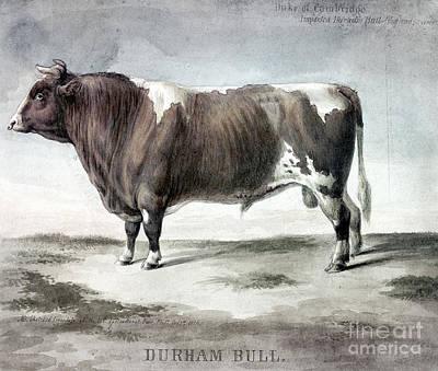 Photograph - Durham Bull, 1856 by Granger
