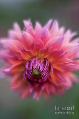 Photograph - Dusk Dahlia Flourish by Mike Reid