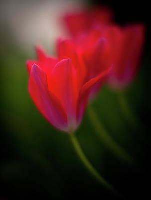 Red Abstract Photograph - Dusk Tulip Petals by Mike Reid