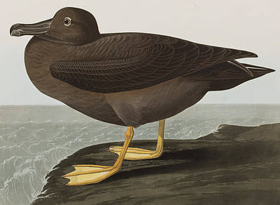 Dusky Albatros Art Print