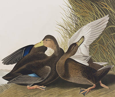 Edge Painting - Dusky Duck by John James Audubon
