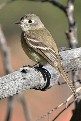 Photograph - Dusky Flycatcher by Alan Lenk