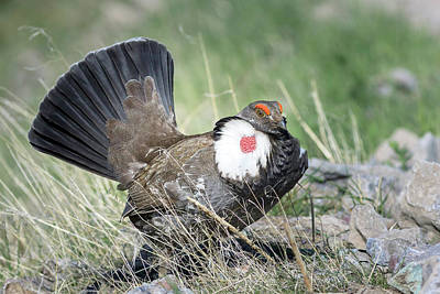 Photograph - Dusky Grouse by Jack Bell