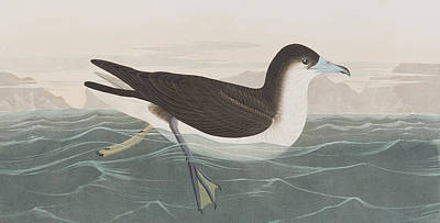Sea Birds Drawing - Dusky Petrel by John James Audubon