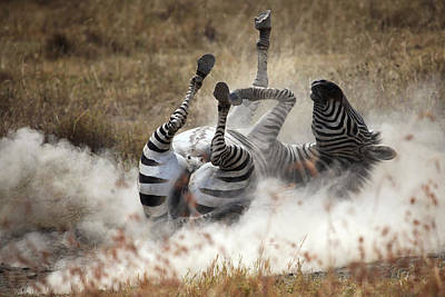 Zebra Photograph - Dust Bath by Michel Guyot