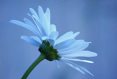 Photograph - Dusty Blue Daisy by Barbara St Jean