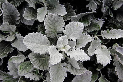 Dusty Miller Art Print