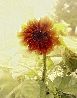Photograph - Dusty Retro Sunflower by Amanda Smith