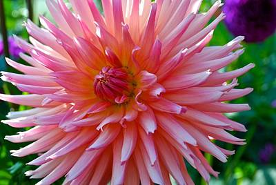 Dusty Rose Dahlia  Art Print