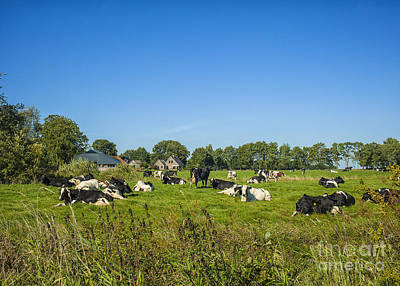Photograph - Dutch Cows On Pastures by Patricia Hofmeester