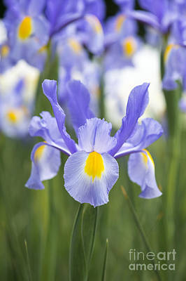 Dutch Iris Nova Blue Art Print by Tim Gainey