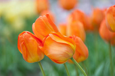 Photograph - Dutch Orange Tulips  by Jenny Rainbow