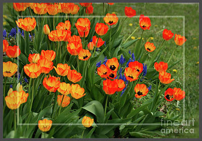 Photograph - Dutch Tulips Framed by Sandra Huston