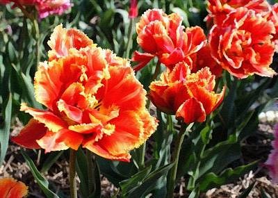 Keith Richards - Dutch Tulips In Full Bloom - The Netherlands L B by Gert J Rheeders