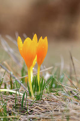 Photograph - Dutch Yellow Crocus - Crocus Flavus by Jivko Nakev