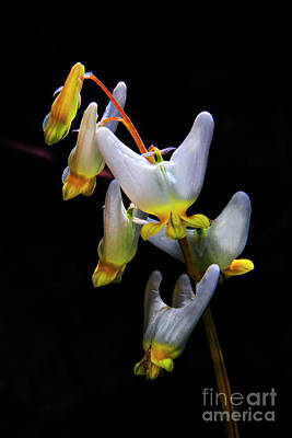 Photograph - Dutchmans Breeches by Barbara Bowen