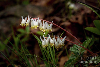 Photograph - Dutchman's Breeches by Roger Monahan