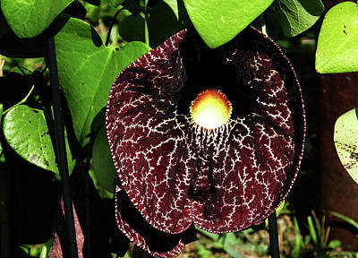 Photograph - Dutchmans Pipe by Judy Wanamaker