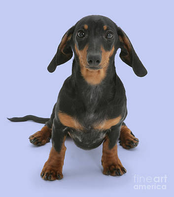 Photograph - Dutiful Dachshund by Warren Photographic