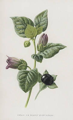 Botanical Drawing - Dwale, Or Deadly Nightshade by Frederick Edward Hulme