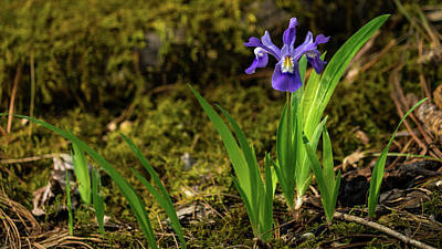 Photograph - Dwarf Crested Iris 2 North Georgia Mountains by Lawrence S Richardson Jr