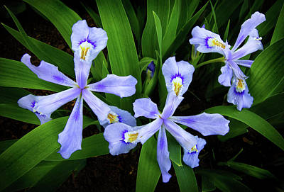 Photograph - Dwarf Crested Iris by Carolyn Derstine