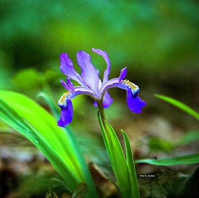 Photograph - Dwarf Crested Iris by Dale R Carlson
