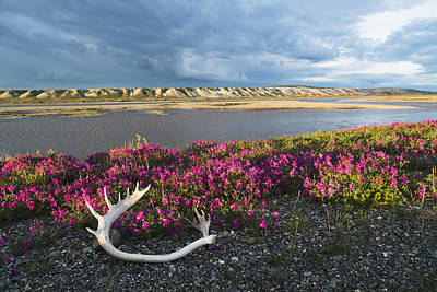 Dalton Highway Photograph - Dwarf Fireweed And A Caribou Antler by Lucas Payne