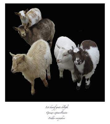 Photograph - Dwarf Goats Haiku by Constantine Gregory