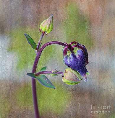 Photograph - Columbine Budding by Nina Silver