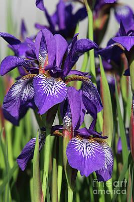 Photograph - Dwarf Iris by Judy Whitton