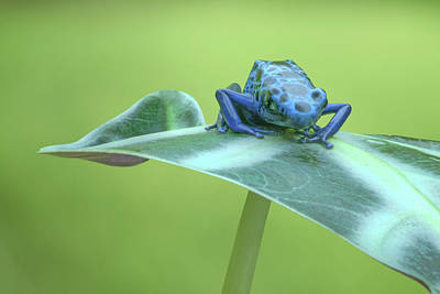 Photograph - Dyeing Dart Frog by Nikolyn McDonald