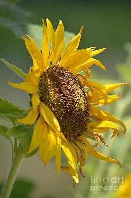 Photograph - Dying Beauty - Sunflower by Maria Urso