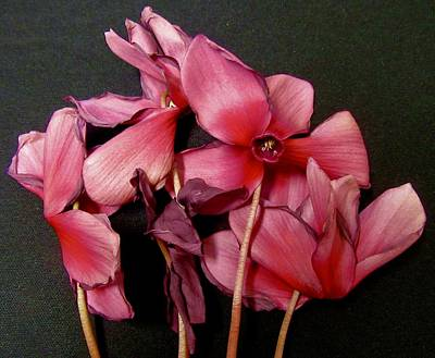 Photograph - Dying Cyclamen by Stephanie Moore