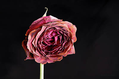 Photograph - Dying Rose by Erich Grant
