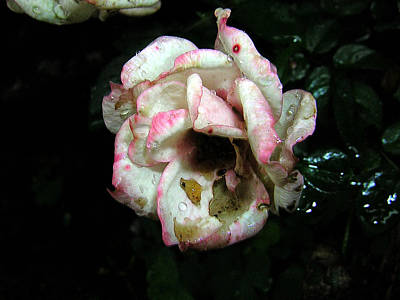 Photograph - Dying Rose by George Jones