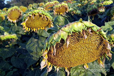 Dying Sunflowers In Field Art Print by Sami Sarkis