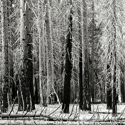 Photograph - Dying Trees In Yosemite by Timothy Bulone