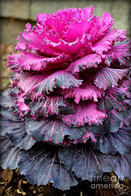 Photograph - Dynasty Red Flowering Cabbage by Kathy White